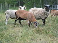 Chèvre, Mouton ou Bélier?
